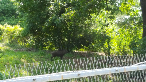 경기도 파주시 민통선 내 해마루촌 주택 앞에 나타난 야생 멧돼지. [사진 김용옥씨]