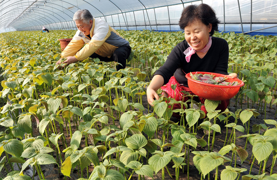 충남 금산군 추부면의 한 농가에서 주민들이 깻잎을 수확하고 있다. [중앙포토]