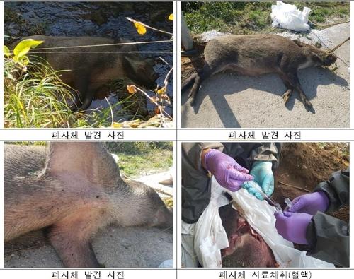 민통선 지역에서 발견된 야생 멧돼지 폐사체 [사진 환경부]