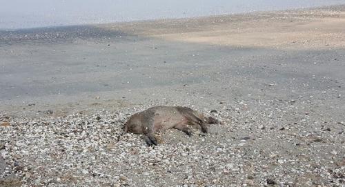 전북 고창군 해안가서 발견된 멧돼지 사체. [사진 전북경찰청]