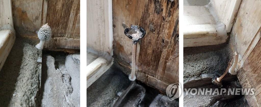 지난해 11월 입주한 경남 진주시의 한 아파트 안방 욕실 문틀 사이에 곰팡이와 함께 8번이나 버섯이 난 모습. [입주자=연합뉴스]
