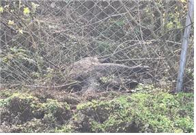 파주에서 발견된 멧돼지 사체 [사진 환경부]