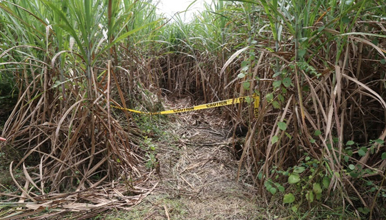 한국인 남녀 3명이 2016년 10월 11일 머리에 총상을 입고 숨진 채 발견된 필리핀 바콜로 지역의 한 사탕수수밭. 현지에 파견된 한국 경찰의 탐문 끝에 살인사건 피의자 박모씨가 그해 11월 17일 현지에서 검거됐다. [연합뉴스]