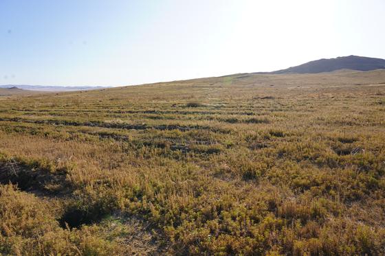 지난 8일 찾은 몽골 울란바토르 서쪽 아르갈란트에 조성된 '서울시 미래를 가꾸는 숲'. 올해 나무를 심은 지역이라 아직 나무가 얇고 작아서, 언뜻 보기엔 풀만 자란 평지처럼 보인다. 사진 왼쪽 아래처럼 구덩이를 판 뒤 1m 남짓 키의 '차차르간' 묘목을 심었다. 이 사진에 보이는 구역에는 1만여그루의 어린 나무가 자라고 있다. 김정연 기자