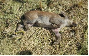 경기도 연천에서 발견된 멧돼지 폐사체. 아프리카돼지열병(ASF) 바이러스가 검출됐다. [사진 환경부]