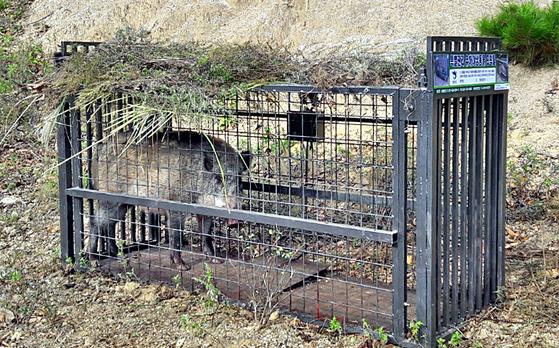 17일 오전 강원 화천군 전방에 설치한 포획틀에 야생멧돼지가 포획됐다. 아프리카돼지열병 확산 방지를 위해 화천군은 전날 포획틀 20개를 제작해 설치했다. [뉴스1]