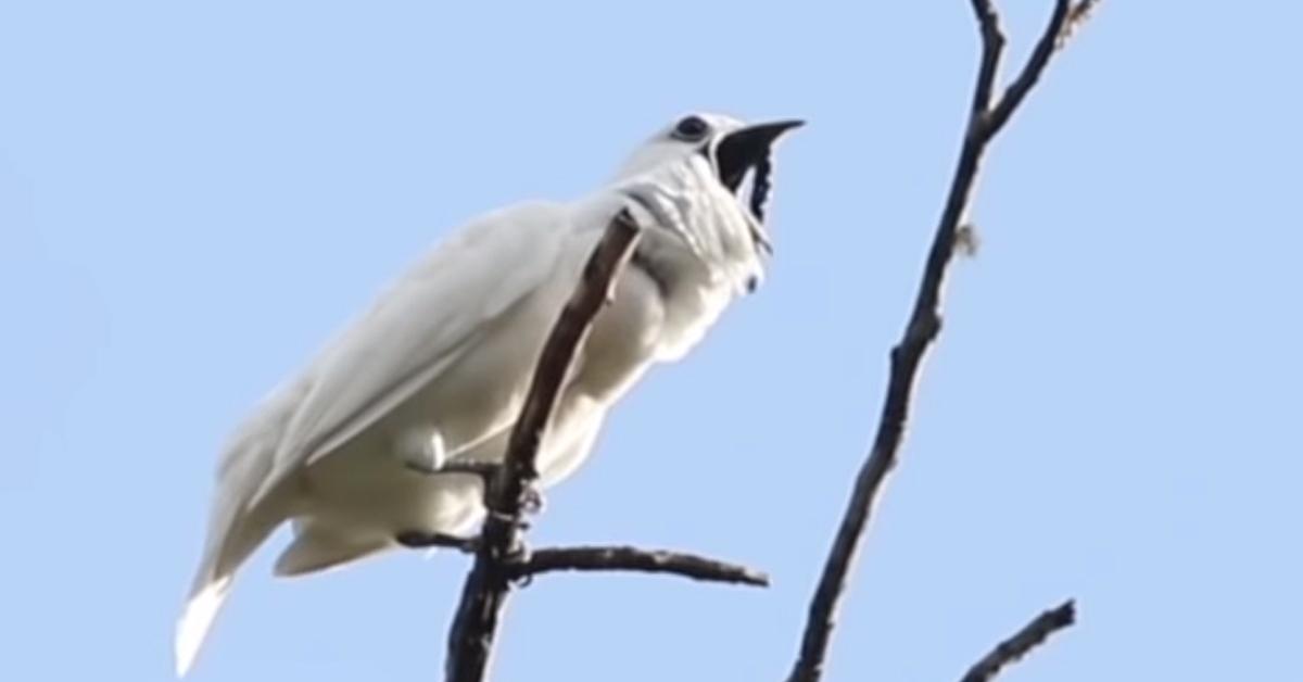 울음소리를 내고 있는 방울새. [유튜브 캡처]
