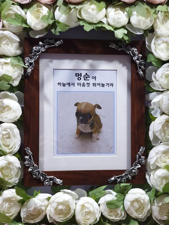 최은진씨가 작년 11월 입양한 치와와 '멍순이'. 최씨는 강아지가 폐사하자 사비로 장례까지 치렀다. [최은진씨 제공]
