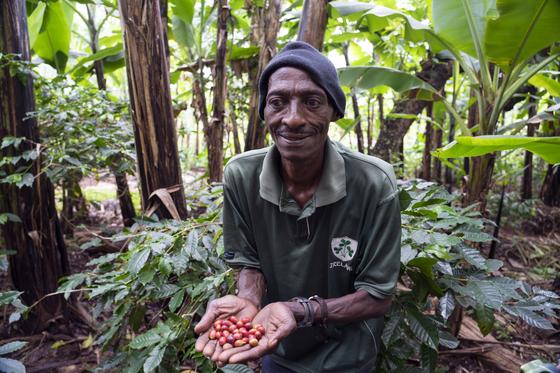 킬리만자로 산자락을 따라 널린 것이 바나나나무와 커피나무다. 고산지대에서 재배하는 커피콩은 밀도 높아 향이 깊고 맛이 풍부하다. 킬리만자로 커피가 명품으로 통하는 이유다. 백종현 기자