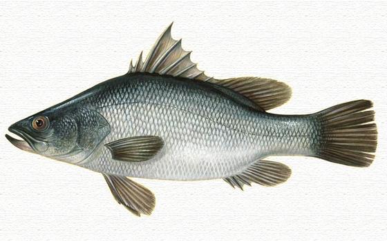 나일농어. 아프리카 나일강과 하천, 호수 등에 사는 길이 2m, 무게 140kg의 입이 큰 어류다.