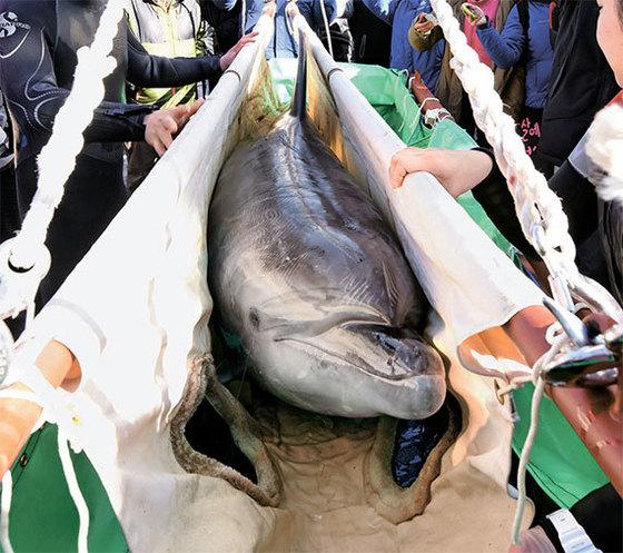 지난 2017년 2월 9일 일본에서 32시간 걸려 울산 장생포에 도착한 돌고래가 크레인을 이용해 옮겨지고 있다. 장시간 운송된 지 각각 5, 9일 만에 숨졌다. [뉴시스]