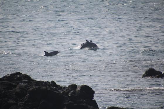2018년 2월 제주도 서귀포시 대정읍 앞바다에 나타난 남방큰돌고래들. [핫핑크돌핀스]