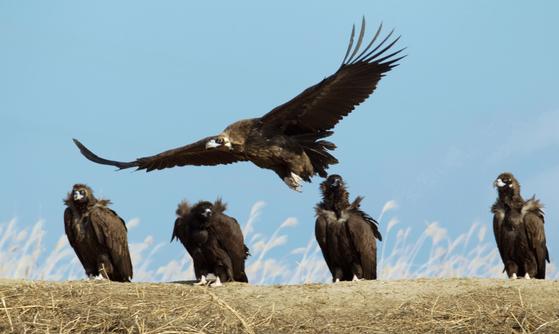 파주시 장단반도 DMZ 내 독수리 서식지에 날아든 독수리. [중앙포토]