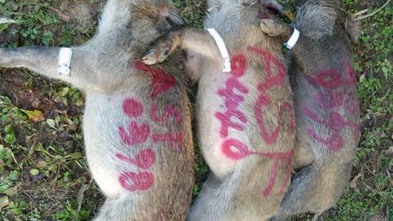 전남 담양군에서 최근 포획된 멧돼지들. 담양군은 포획한 멧돼지에 'ASF'라는 글자를 적은 뒤 사진을 찍어 제출하면 현상금 20만원을 준다. [사진 담양군]