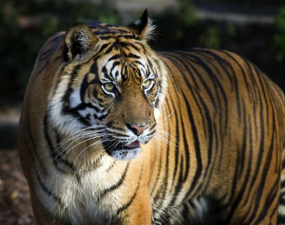 호랑이는 고양이과 동물 중에서 체구가 가장 크다. 주로 야간에 활동하며, 소리없이 움직이지만 숨어다니지는 않는다. 나무 위에 오를 수도 있지만 평상시에는 오르지 않는다. [사진 pxhere]