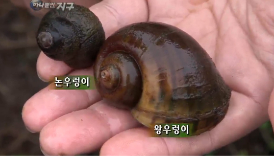 왕우렁이는 지름이 약 4㎝ 정도로 토종 논우렁이보다 크다. [자료: EBS 클립뱅크 캡처]