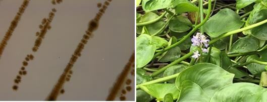 신종 미생물(왼쪽)과 물옥잠. [사진 국립낙동강생물자원관]