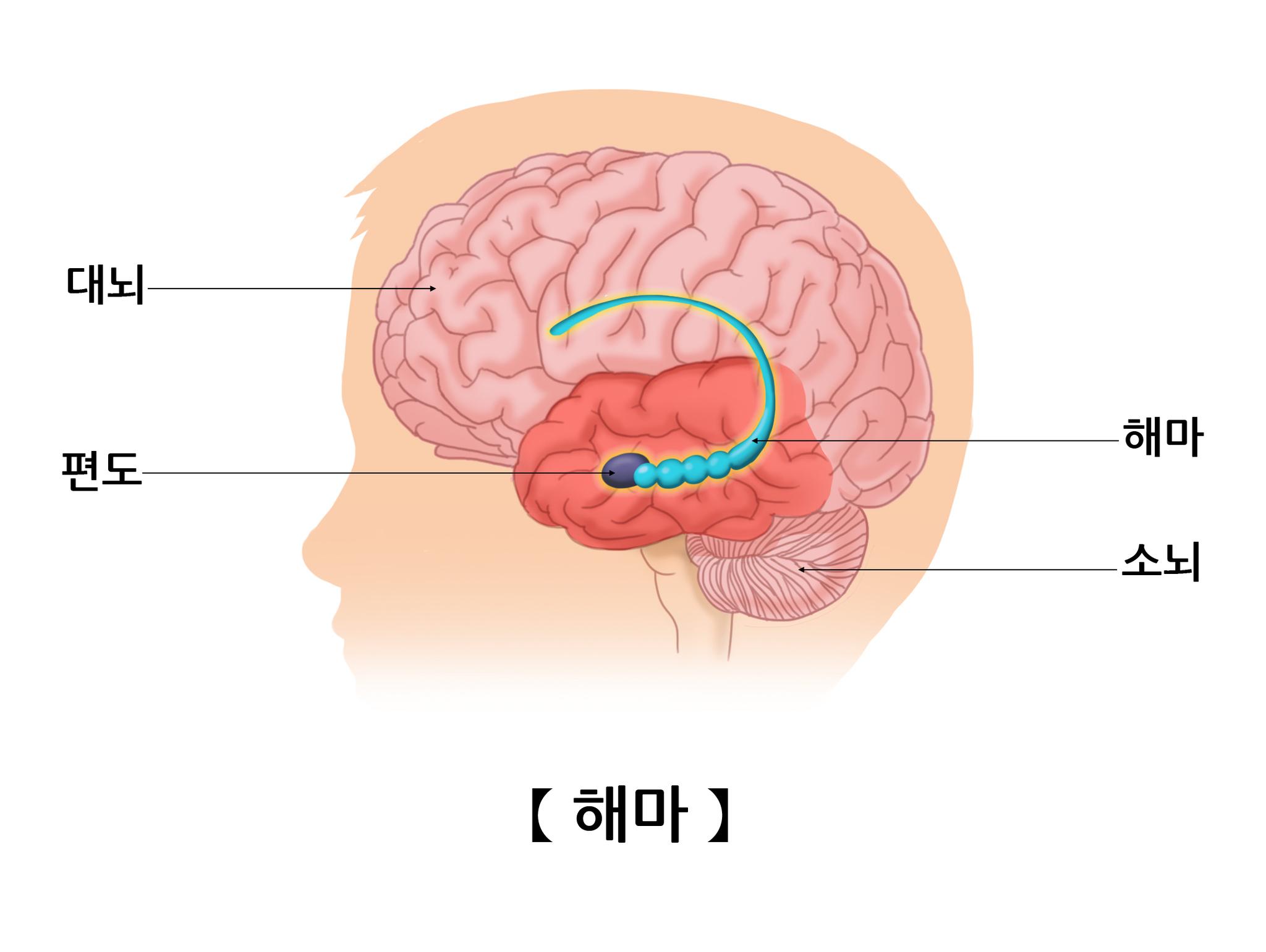 뇌 양쪽에 있는 해마. [자료 서울아산병원]