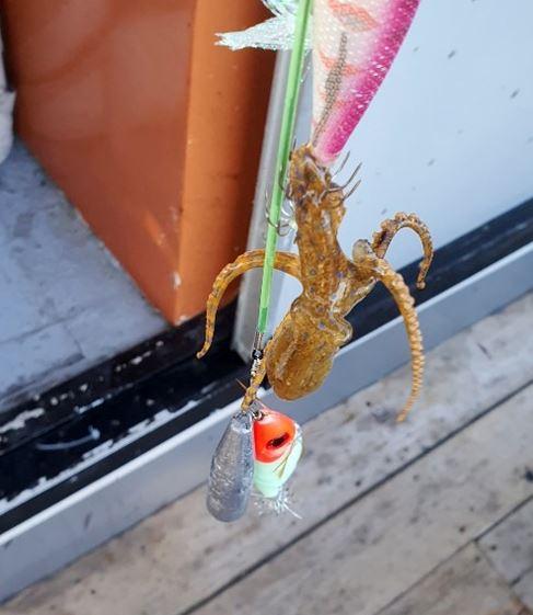 여수 앞바다에서 포획된 맹독성 파란고리문어. [사진 여수해경]