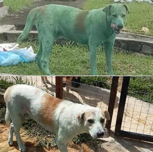 논란이 됐던 말레이시아 '녹색 개'. [말레이시아 비영리 동물보호단체 'MUN MUN' 페이스북 캡처]