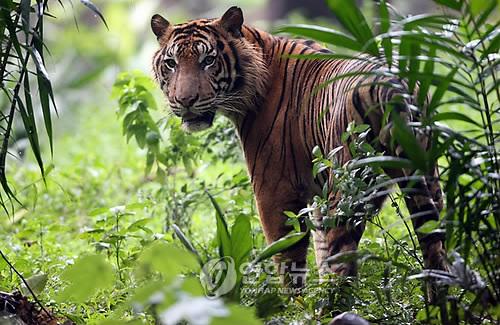 지난 2010년 7월 인도네시아 자카르타 라구난 동물원에서 촬영된 수마트라 호랑이. [EPA=연합뉴스]