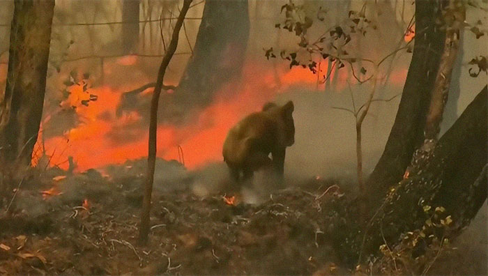 사상 최악의 산불로 고통받고 있는 호주에서 코알라 한 마리가 온몸에 화상을 입은 채 솟구치는 불길을 피해 달아나는 안타까운 모습이 공개됐다. 사진속의 코알라가 이글거리는 불길속에서 지쳐 주저 앉고 있다. [유튜브 캡처]