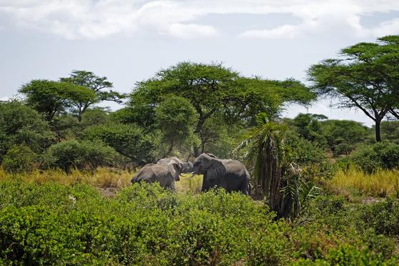 세렝게티는 끝이 보이지 않는 대평원이다. 건기에는 그나마 수풀이 무성하고, 웅덩이가 있는 곳으로 온갖 초식 동물이 모여든다. 아카시아 숲에서 영역 다툼을 하는 아프리카코끼리를 발견했다. 서로의 코를 말고 기 싸움을 벌이는 모습이 이색적이다. 백종현 기자