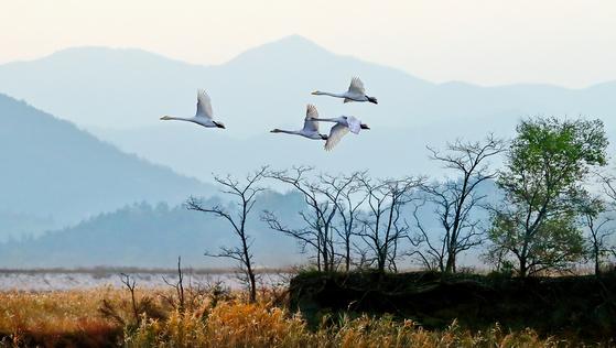 겨울로 접어든 전남 강진만. 겨울철새 큰고니들이 갈대밭 위를 날며 평화로운 한때를 보내고 있다. [중앙포토]