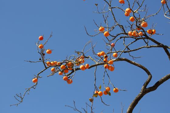 감의 빛깔은 가을을 알려주고 가을을 느끼게 하고 가을로 빠져들게 한다. 그리고 가을을 떠나보낸다. 그래서 감은 시간이 '감' 아닐까 하는 말장난도 해본다. [사진 Pixabay]