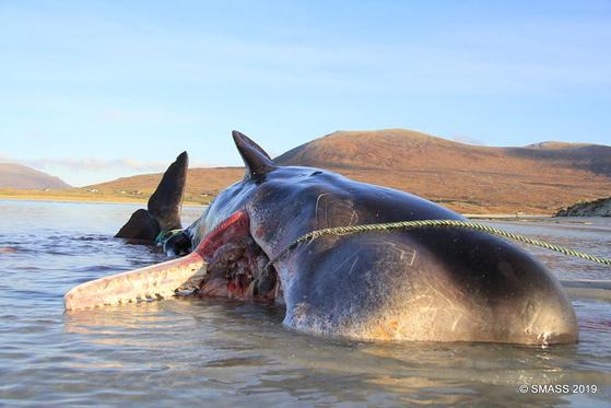 뱃속에 쓰레기 100㎏가 담긴 채 죽은 향유 고래. [사진 스코틀랜드 해양동물표류계획(SMASS) 페이스북 캡처]