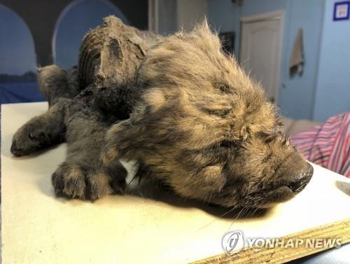 러시아 시베리아에서 발견된 동물 미라. [AP=연합뉴스]