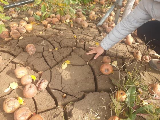 지난달 27일 경북 영덕군 영해면의 한 사과밭. 갈라진 펄에 사과가 나뒹굴고 있다. 백경서 기자
