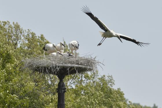 충남 예산 황새공원 인근 야생 둥지에서 어미 황새가 새끼에게 모이를 준 뒤 날아오르고 있다. 프리랜서 김성태?