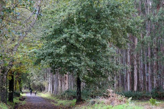 유칼립투스 숲길. 높이가 50m는 족히 될 법한 거목 아래를 순례자들이 걷고 있다.