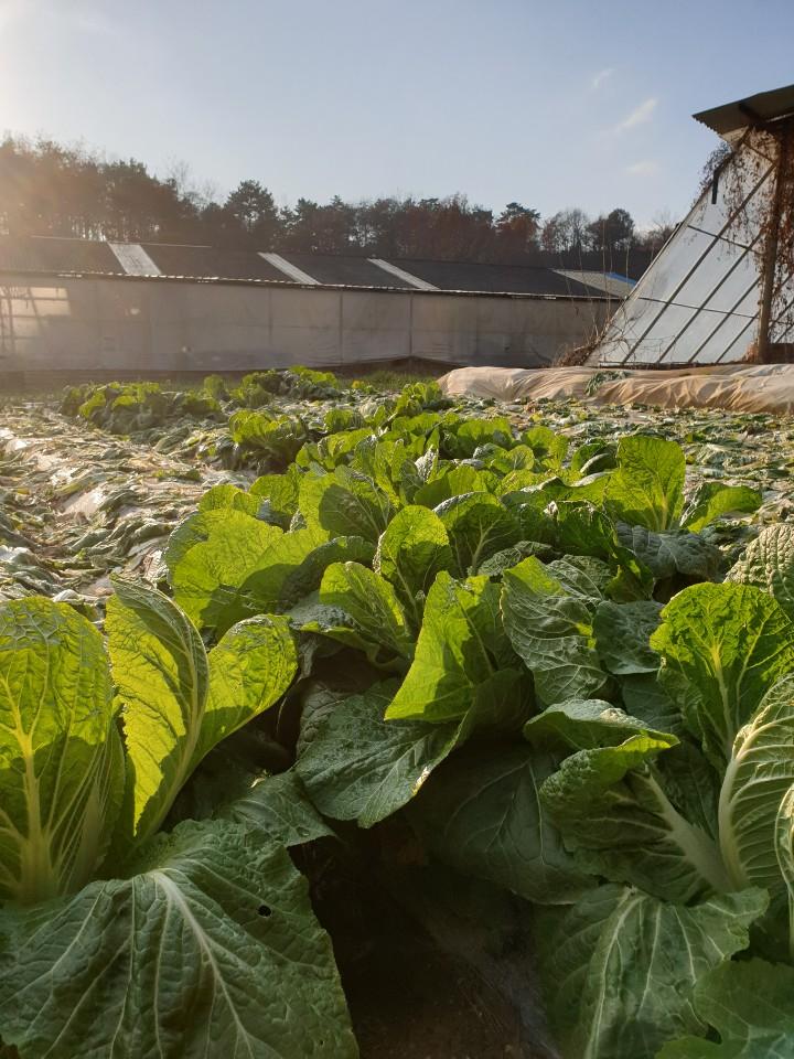 장점마을 들녘에 방치된 배추들. 암 발병 소식이 알려지자 마을에서 재배한 농산물의 판로가 막혔다. 익산=김준희 기자