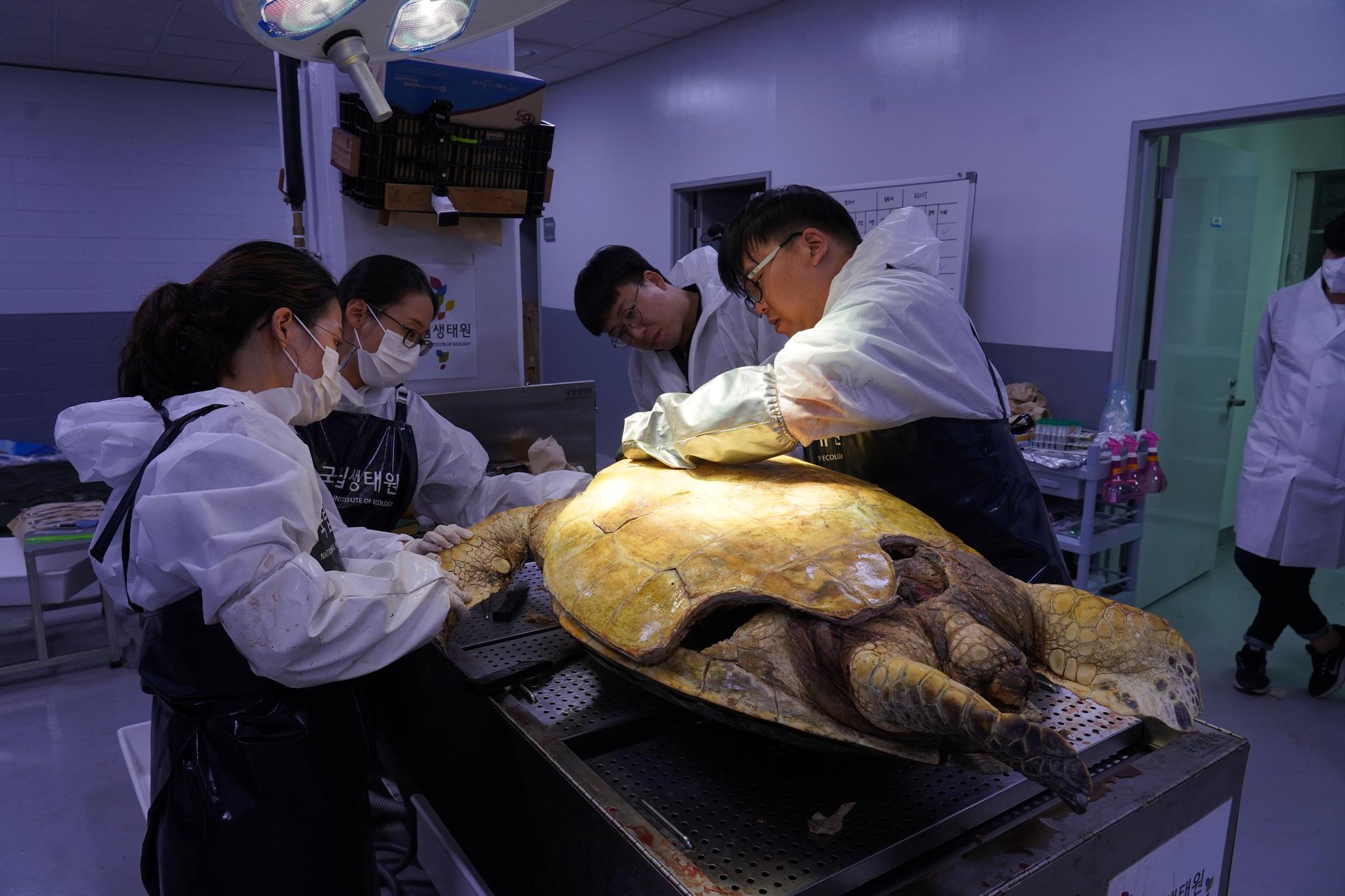 국립생태원 연구진들이 부검실에서 폐사체로 발견된 바다거북을 부검하고 있다. 천권필 기자