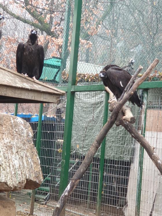 지난 5일 밤 12시 민통선 월동지 바깥인 경기도 파주시 탄현면 오금리에서 발견돼 구조된 독수리. [사진 한갑수씨]