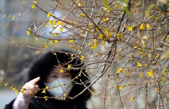 포근한 날씨가 이어지면서 17일 대전 도심에 봄의 전령 개나리가 활짝펴 눈길을 끌고 있다. 프리랜서 김성태