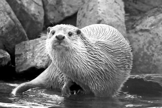 멸종위기복원센터의 수달. 현재 강원도 화천군에서 자연 적응 훈련을 받고 있다. [사진 국립생태원 멸종위기종복원센터]