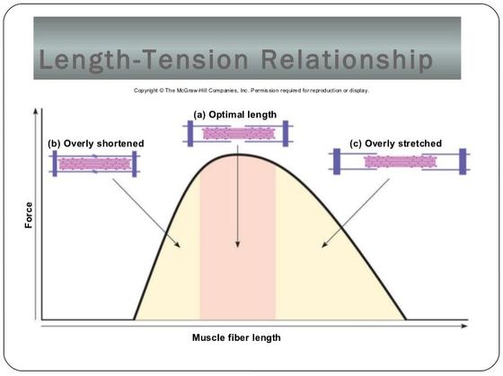 근육 길이와 장력의 관계. [자료 김병곤]