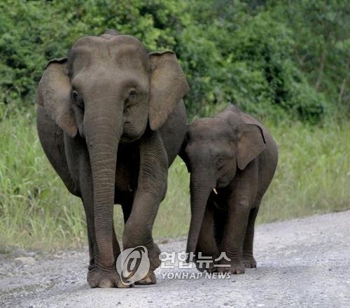 피그미 코끼리. [EPA=연합뉴스]