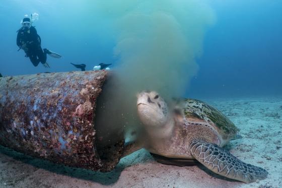 9월 18일 필리핀 보라카이섬 불라복 해안에서 바다거북이 오수가 나오는 하수관 구멍에 머리를 대고 있다. [사진 박부건]