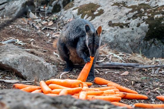 왈라비가 뉴사우스웨일즈 국립공원에서 긴급 제공한 당근을 먹고 있다. [로아터=연합뉴스]