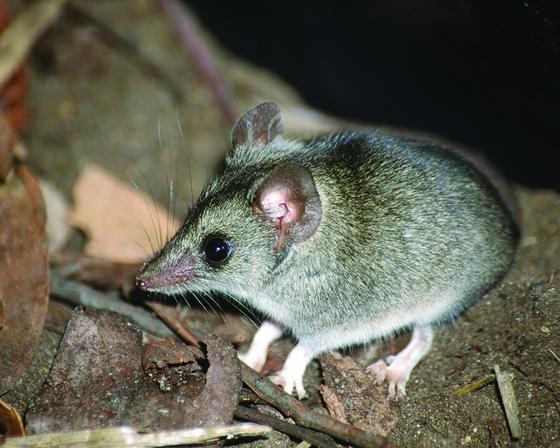 캥거루섬두나트(Kangaroo Island dunnart) [Thratened species recovery hub]