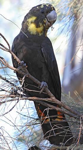 광택유황앵무(Glossy black-cockatoo) [birdlife Australia 홈페이지]
