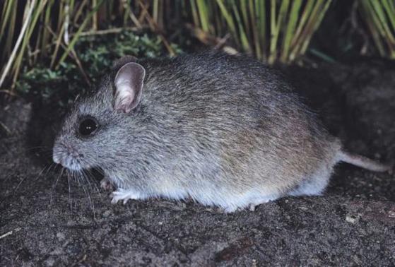 헤이스팅스강쥐(Hastings River mouse). [Australian museum]