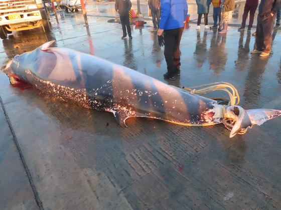 경북 울진 앞바다에서 지난 5일 그물에 걸려 죽은 채 발견된 밍크고래. [연합뉴스]