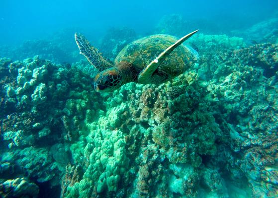 멸종위기종인 푸른바다거북이 산호 지대에서 유영을 하고 있다. [AP/Brian Skoloff]