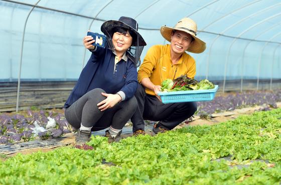 손보달 솔바위농원 대표가 지난 10일 경기도 평택 농원에서 부인과 함께 상추 등 채소를 수확하며 유튜브에 올릴 영상을 촬영하고 있다. 프리랜서 김성태