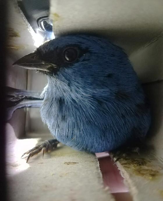 페루 야생동물 보호국(SERFOR)이 15일(현지시간) 공개한 사진. 벨기에 국적의 밀수꾼이 여행가방에 넣어 밀수 하려한 새들 중 한 마리. [사진 SERFOR]